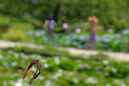 2010_07_19 ショウジョウトンボ.jpg