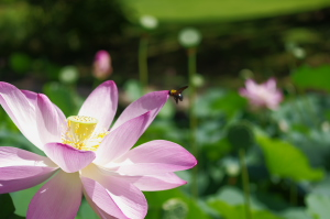 2010_07_19 Lotus&Bee.jpg